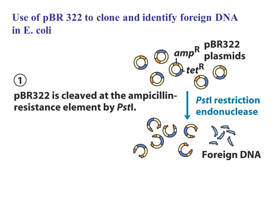 Use of pBR 322 to clone and identify foreign DNA in E. coli