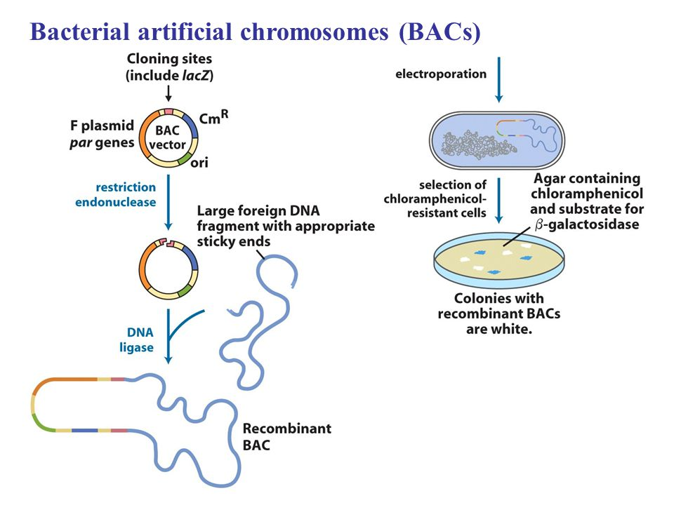 Bacterial artificial chromosomes (BACs)