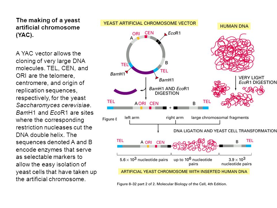 The making of a yeast artificial chromosome (YAC).