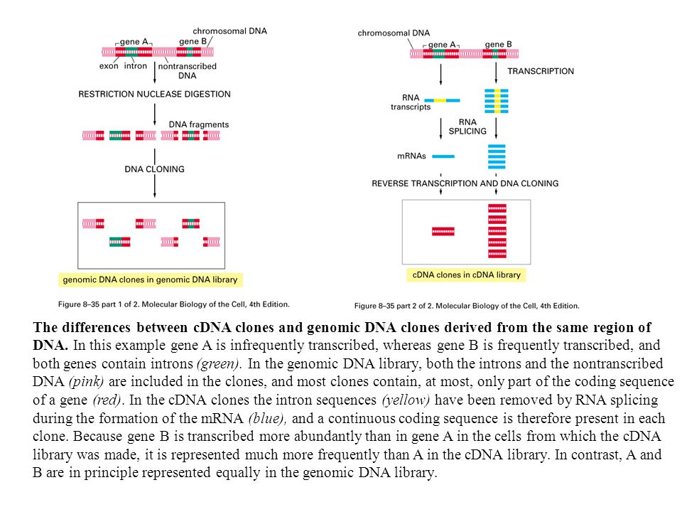 The differences between cDNA clones and genomic DNA clones derived from the same region of DNA.