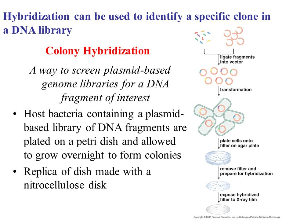 Hybridization can be used to identify a specific clone in a DNA library