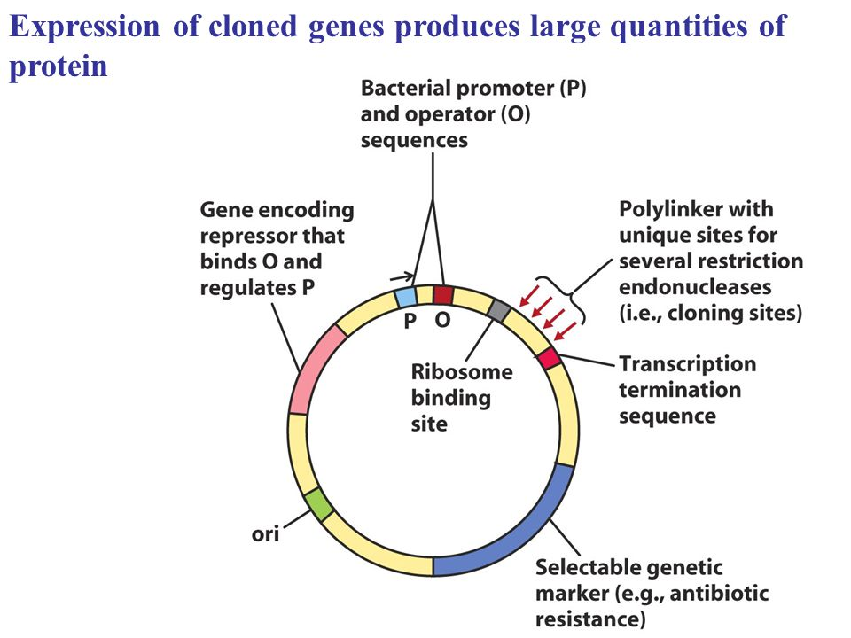 Expression of cloned genes produces large quantities of protein