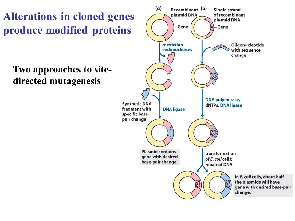 Alterations in cloned genes produce modified proteins