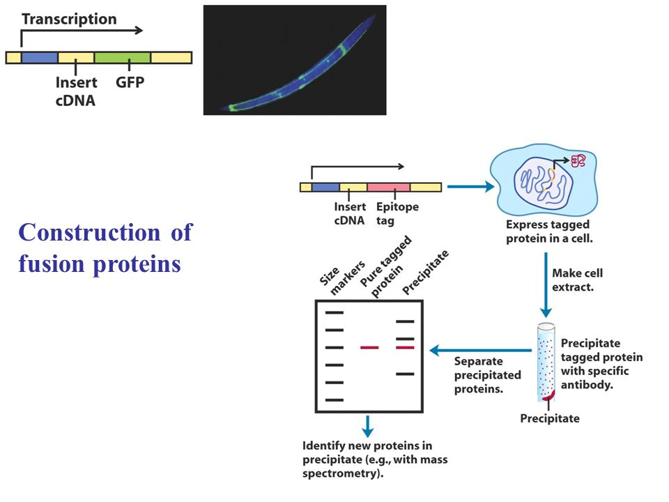 Construction of fusion proteins