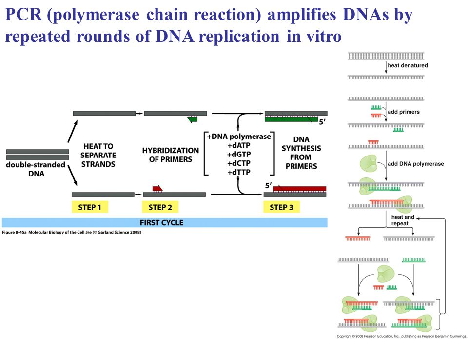 PCR (polymerase chain reaction) amplifies DNAs by repeated rounds of DNA replication in vitro