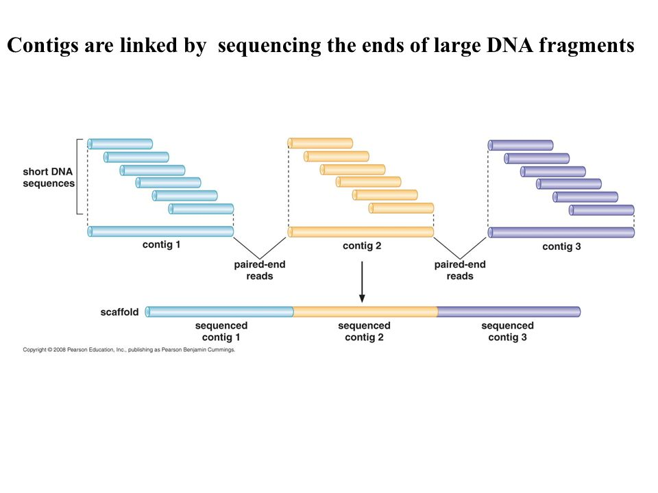 Contigs are linked by sequencing the ends of large DNA fragments