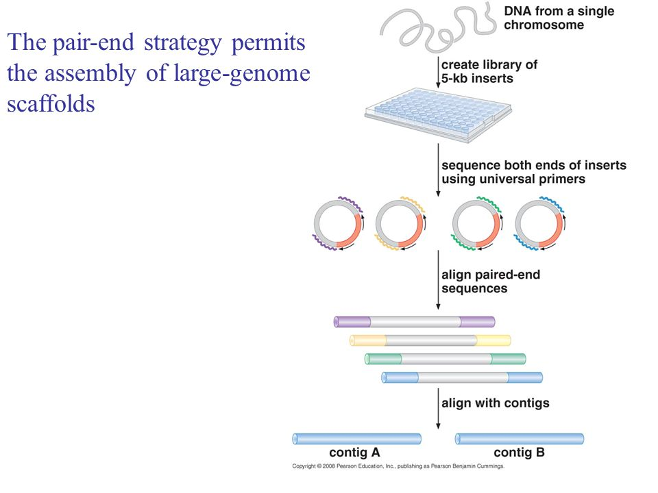 The pair-end strategy permits the assembly of large-genome scaffolds