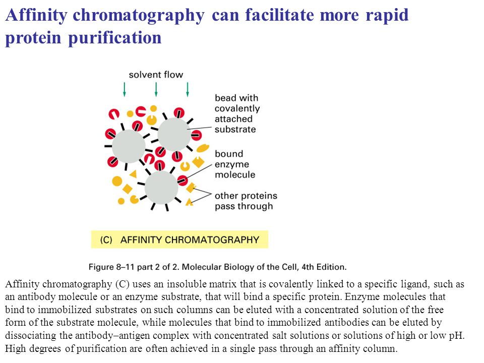 Affinity chromatography can facilitate more rapid protein purification