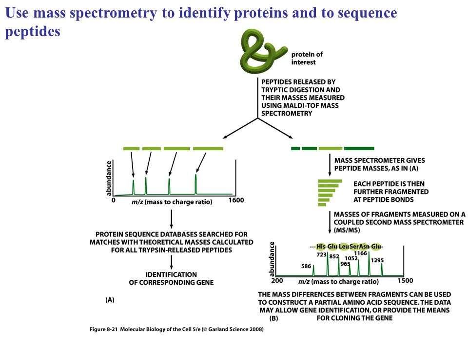Use mass spectrometry to identify proteins and to sequence peptides
