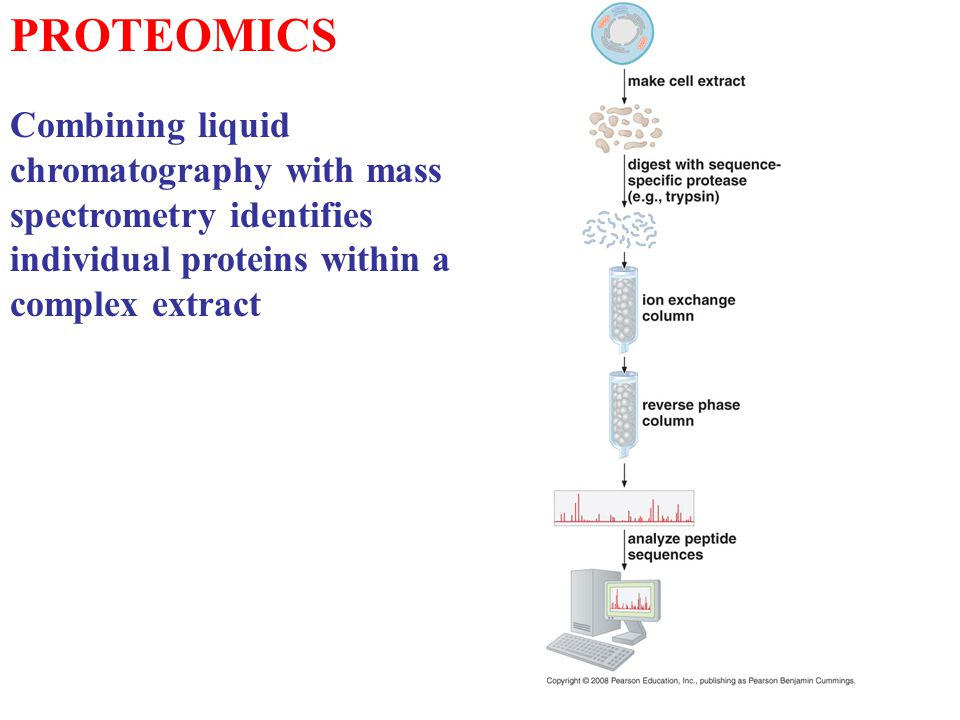 PROTEOMICS Combining liquid chromatography with mass spectrometry identifies individual proteins within a complex extract.