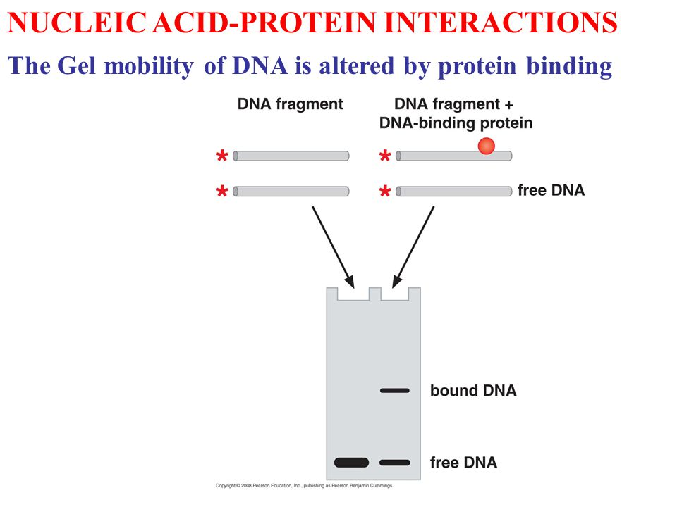 NUCLEIC ACID-PROTEIN INTERACTIONS