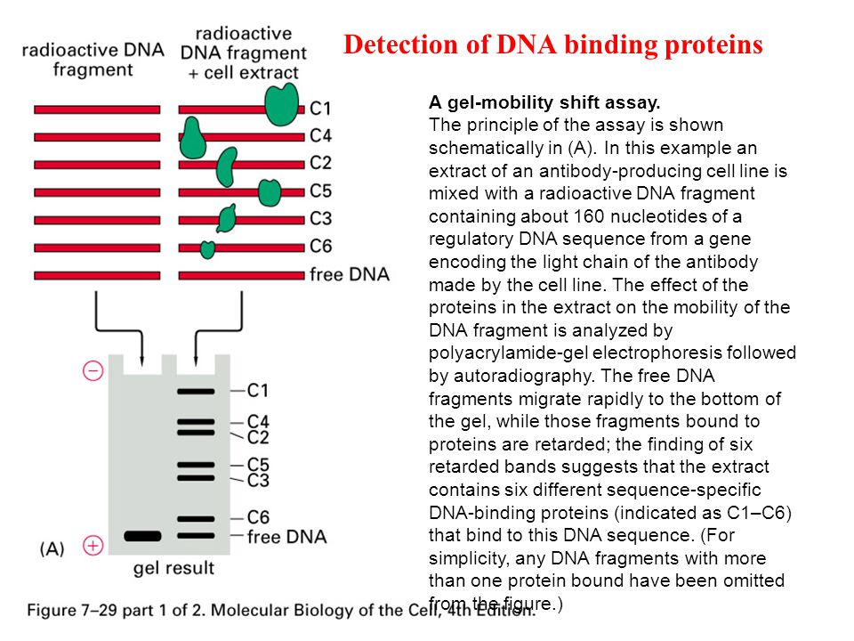 Detection of DNA binding proteins