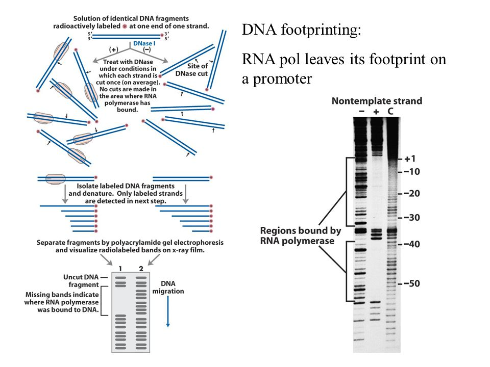 DNA footprinting: RNA pol leaves its footprint on a promoter
