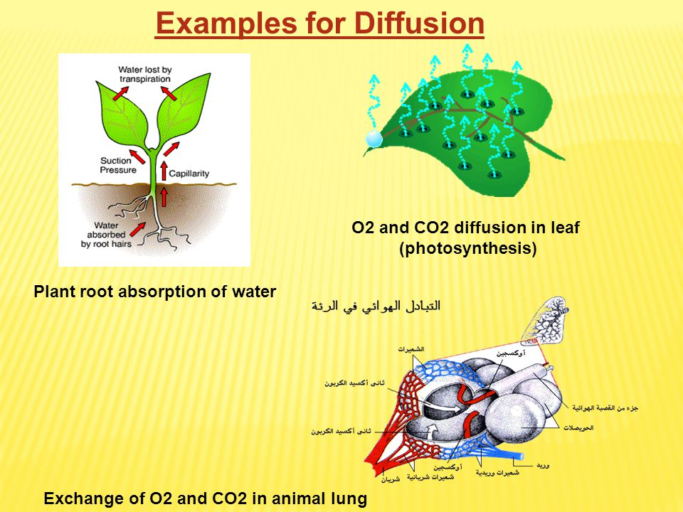O2 and CO2 diffusion in leaf