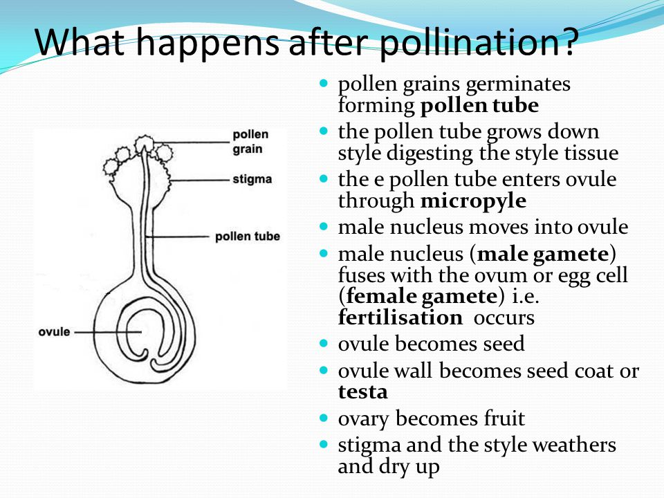 What happens after pollination