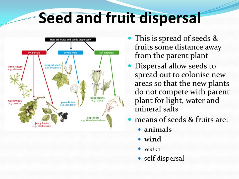 Seed and fruit dispersal