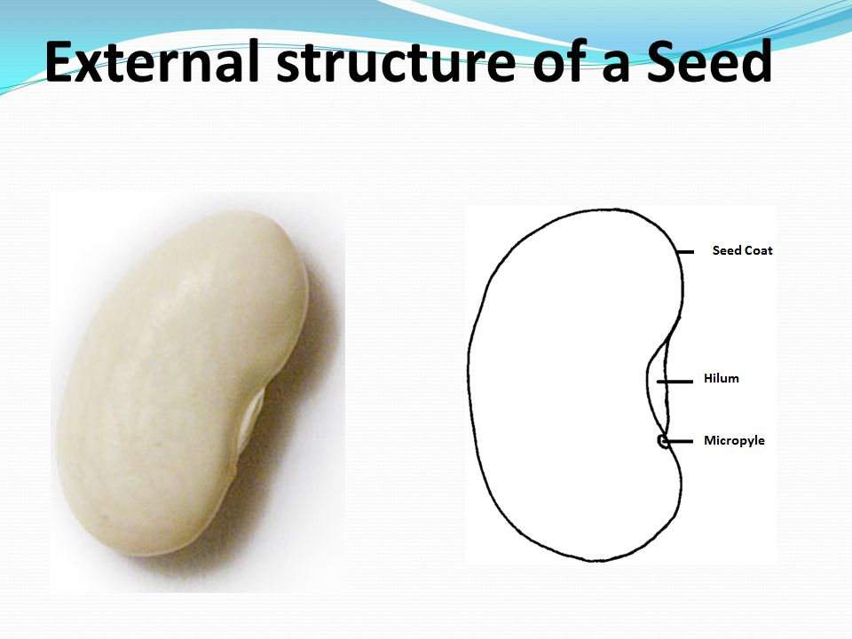 External structure of a Seed