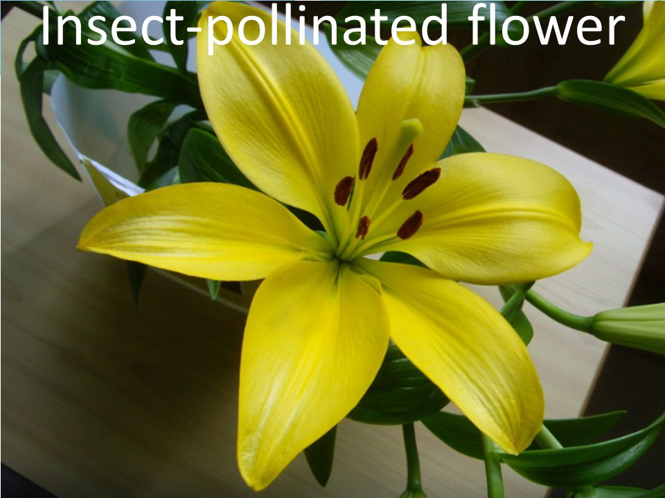 Insect-pollinated flower
