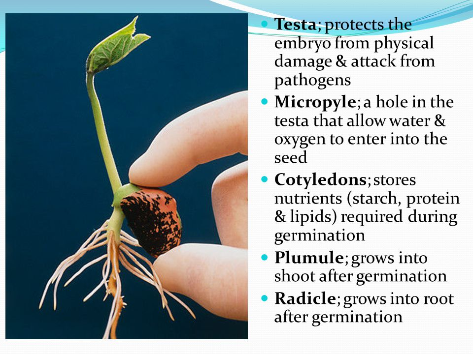Testa; protects the embryo from physical damage & attack from pathogens