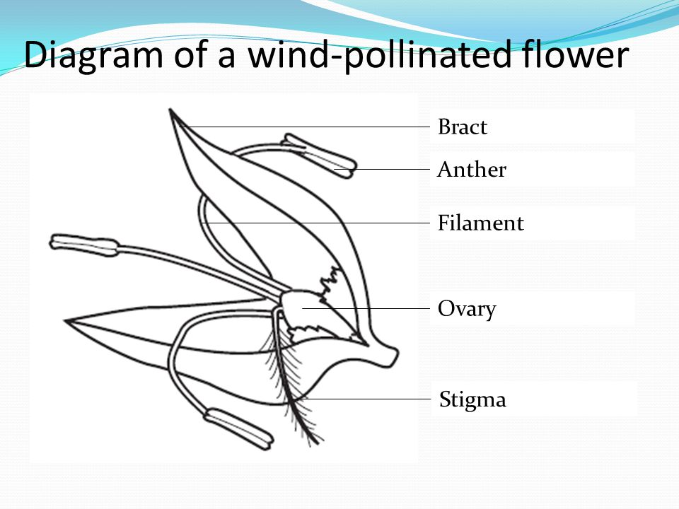 Diagram of a wind-pollinated flower