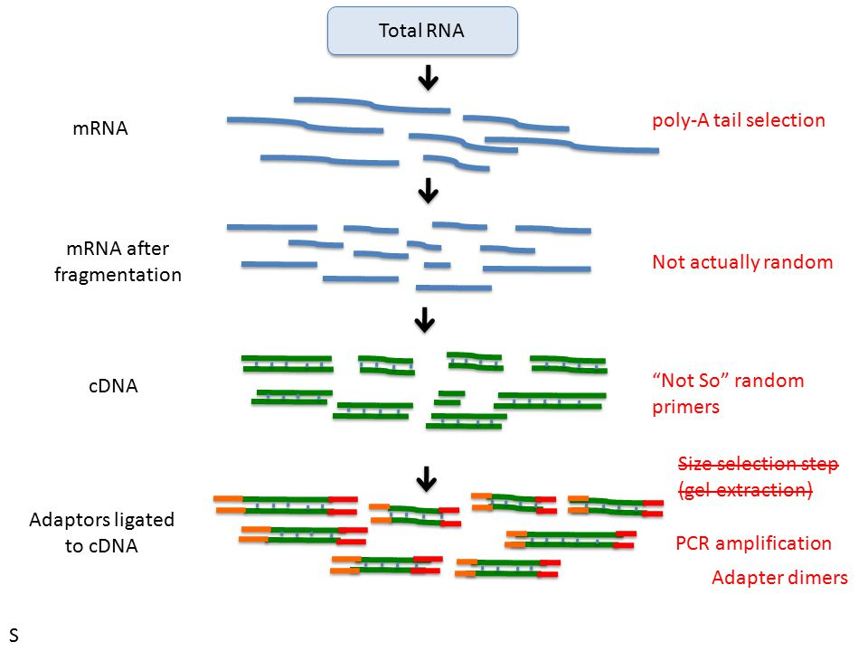 Total RNA poly-A tail selection. mRNA. mRNA after. fragmentation. Not actually random. cDNA. Not So random.