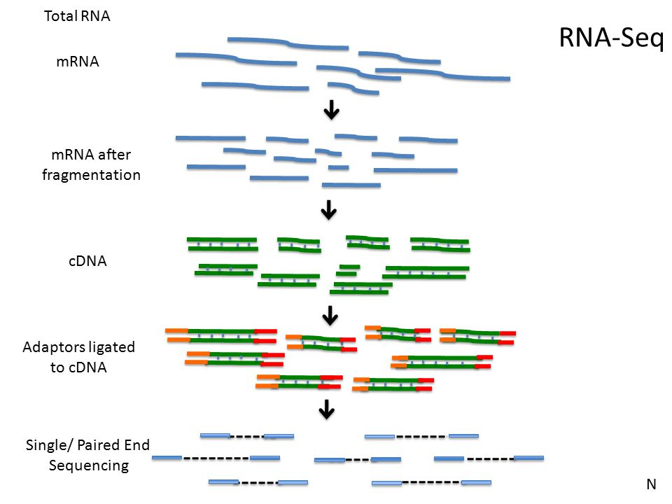 RNA-Seq Total RNA mRNA mRNA after fragmentation cDNA Adaptors ligated
