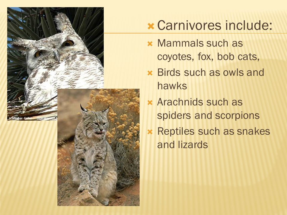 Carnivores include: Mammals such as coyotes, fox, bob cats,