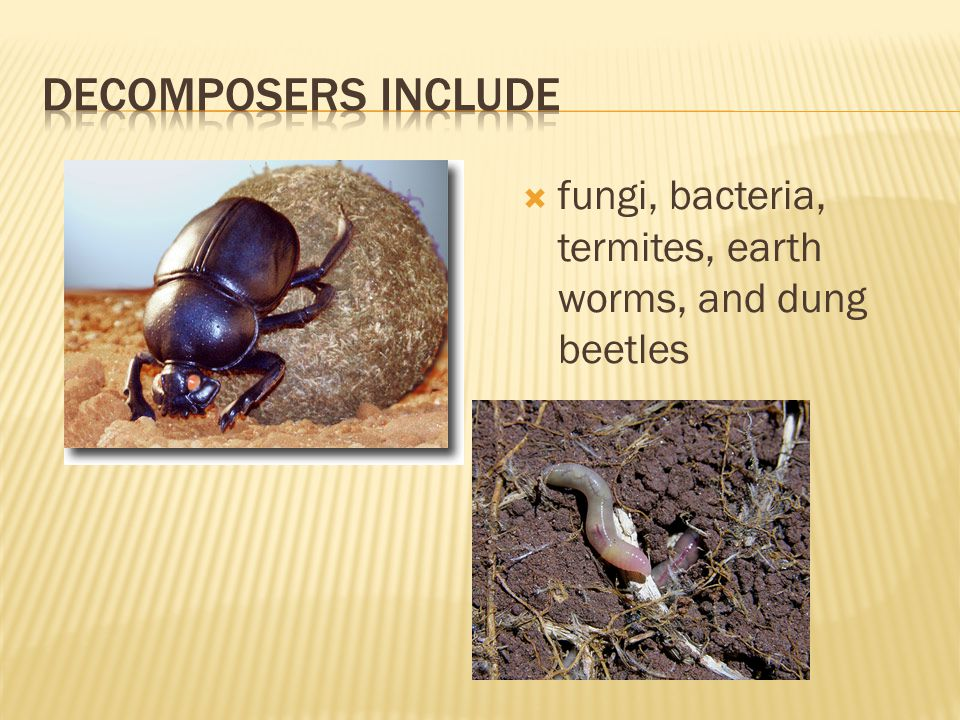 Decomposers Include fungi, bacteria, termites, earth worms, and dung beetles