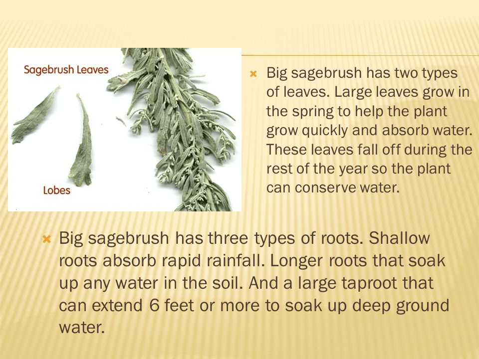 Big sagebrush has two types of leaves