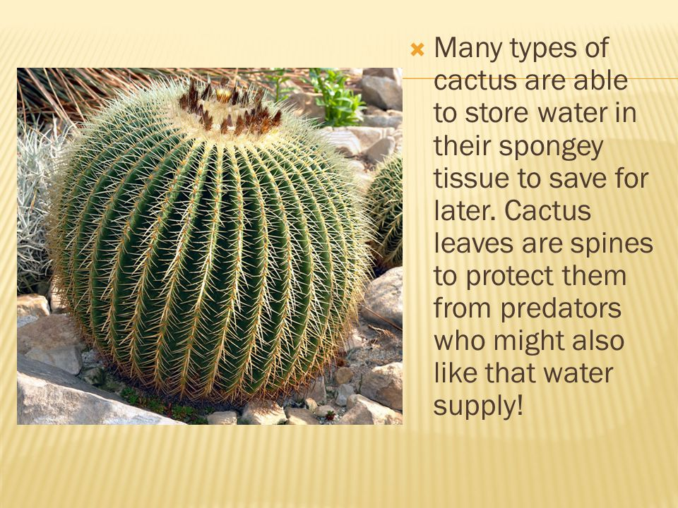 Many types of cactus are able to store water in their spongey tissue to save for later.