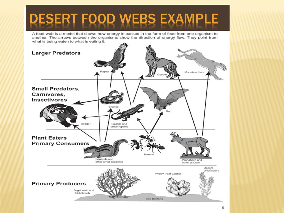 Desert Food webs example