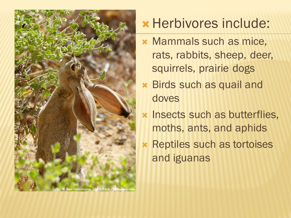 Herbivores include: Mammals such as mice, rats, rabbits, sheep, deer, squirrels, prairie dogs. Birds such as quail and doves.
