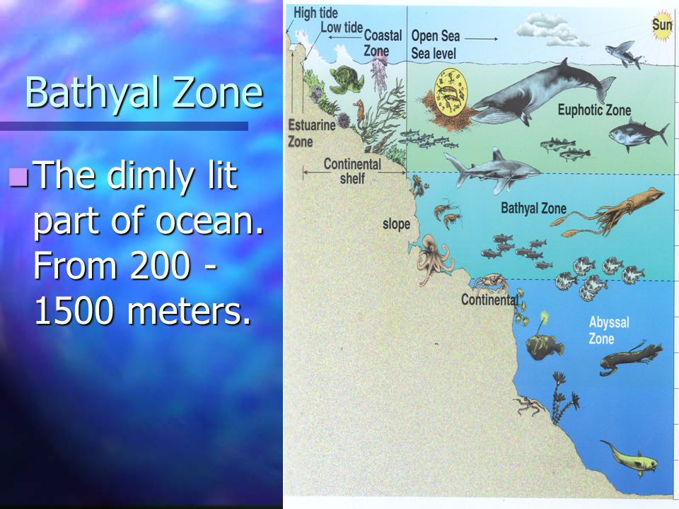 Bathyal Zone The dimly lit part of ocean. From 200 - 1500 meters.
