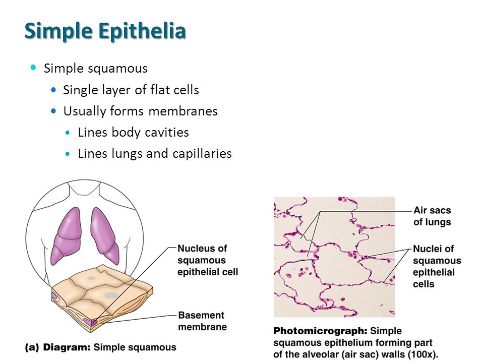 Simple Epithelia Simple squamous Single layer of flat cells