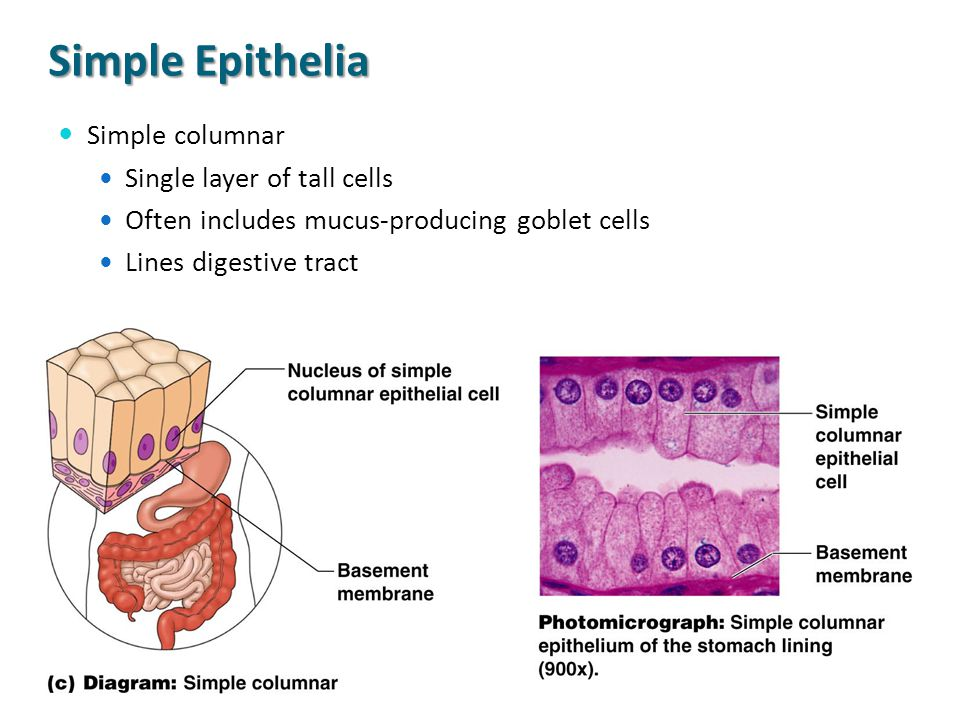 Simple Epithelia Simple columnar Single layer of tall cells