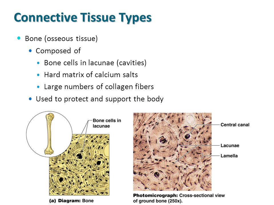 Connective Tissue Types