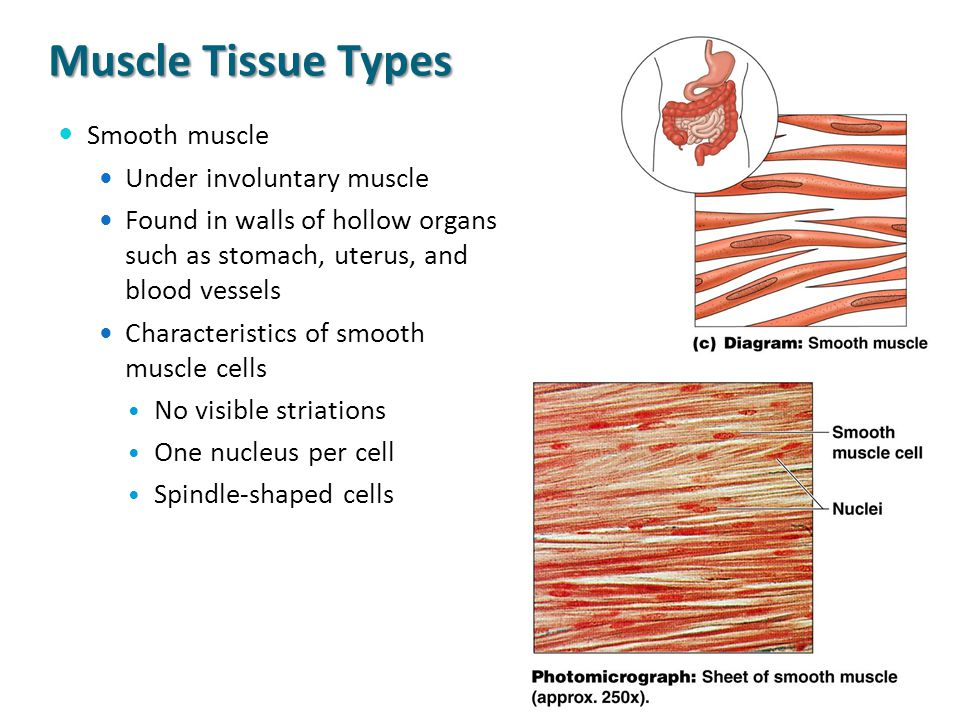 Muscle Tissue Types Smooth muscle Under involuntary muscle