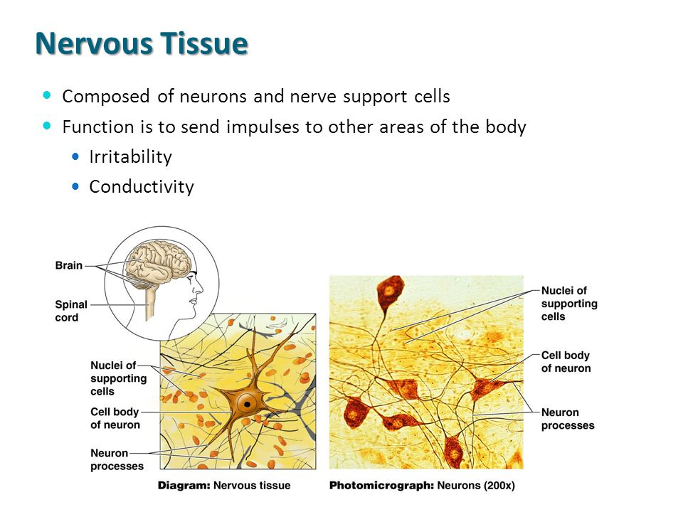 Nervous Tissue Composed of neurons and nerve support cells
