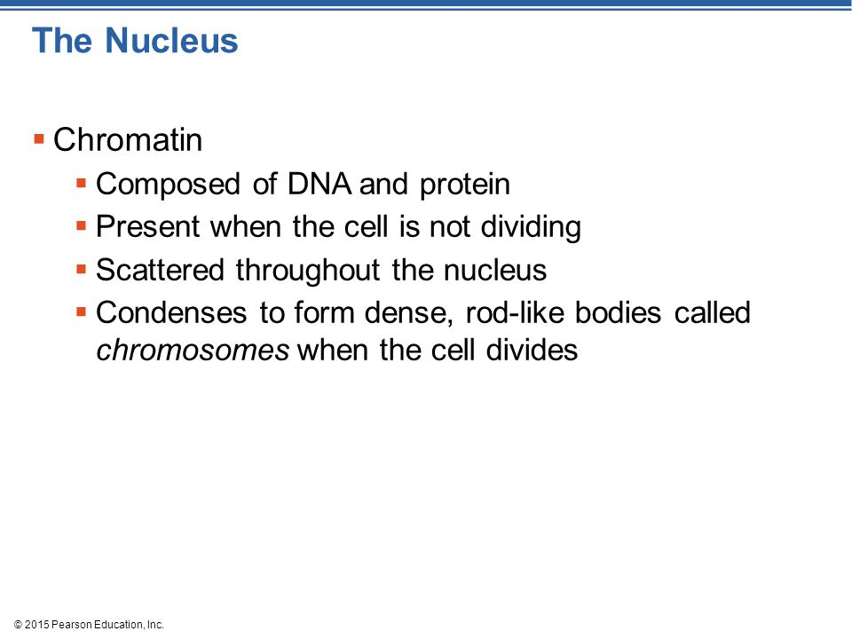 The Nucleus Chromatin Composed of DNA and protein