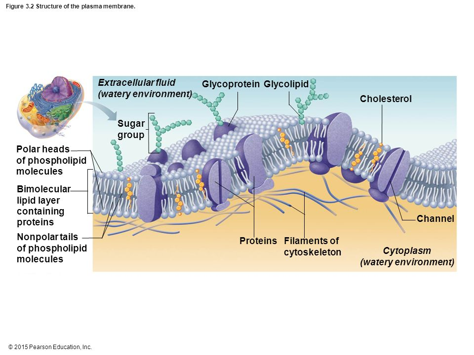 Figure 3.2 Structure of the plasma membrane.