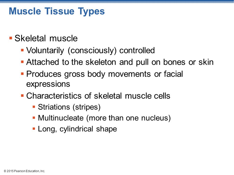 Muscle Tissue Types Skeletal muscle