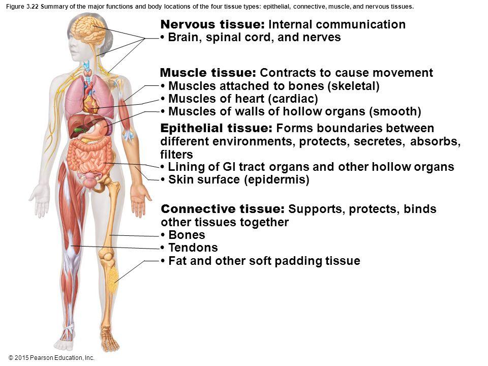 Nervous tissue: Internal communication
