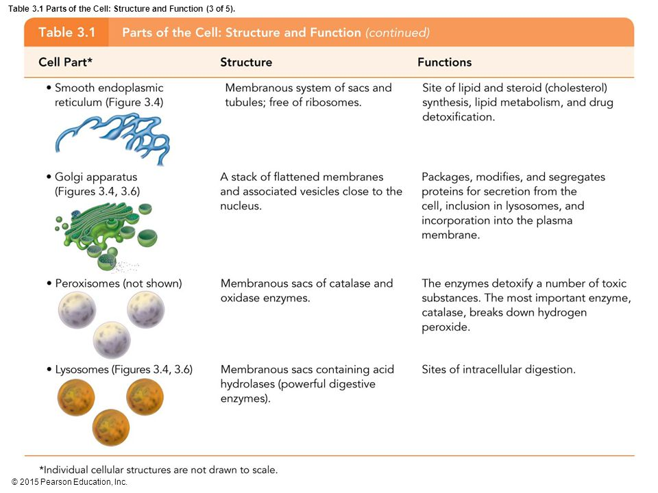 Table 3.1 Parts of the Cell: Structure and Function (3 of 5).