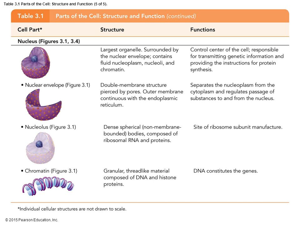 Table 3.1 Parts of the Cell: Structure and Function (5 of 5).