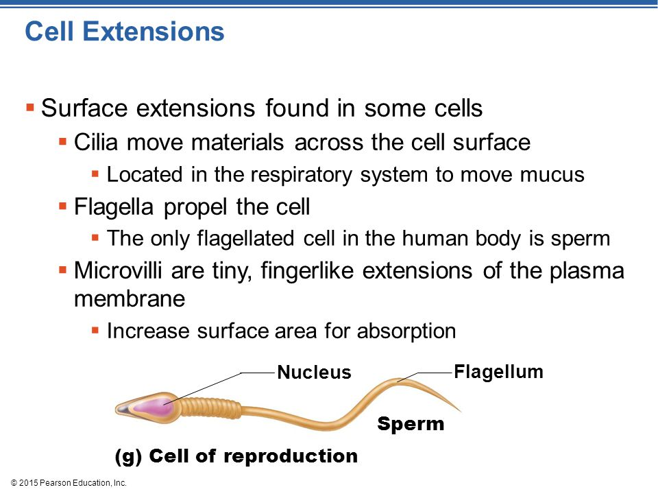 Cell Extensions Surface extensions found in some cells
