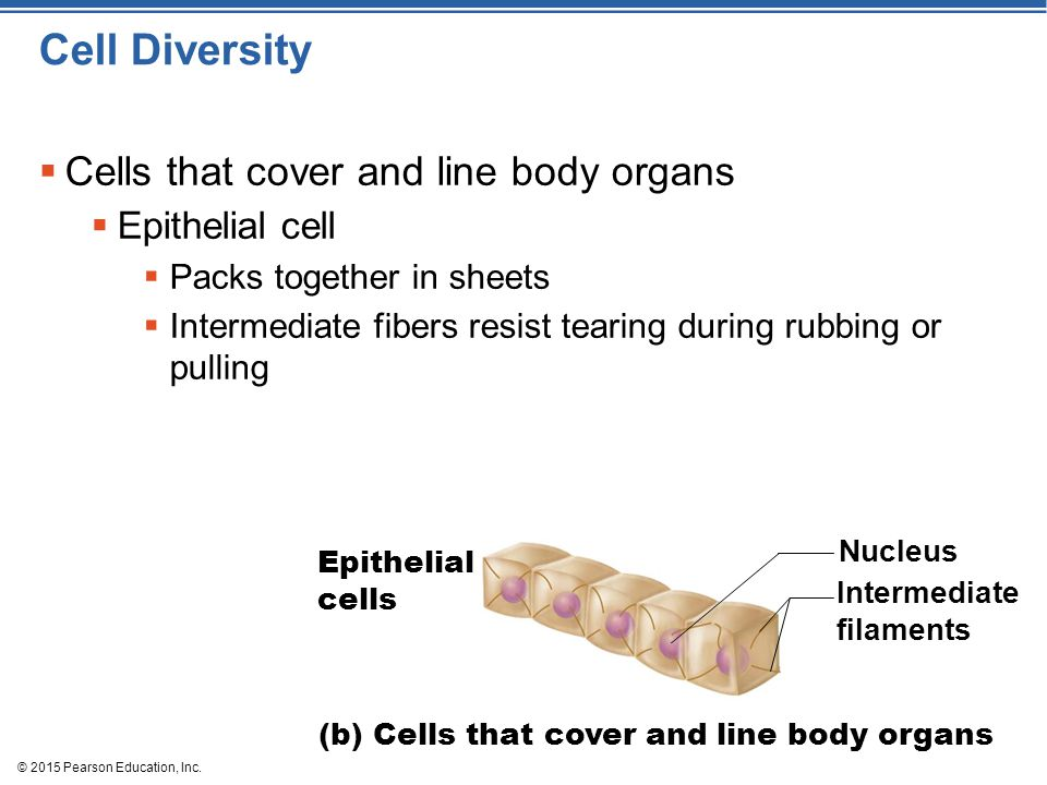 Cell Diversity Cells that cover and line body organs Epithelial cell