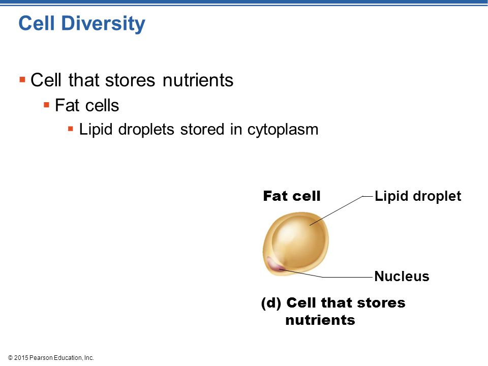 Cell Diversity Cell that stores nutrients Fat cells