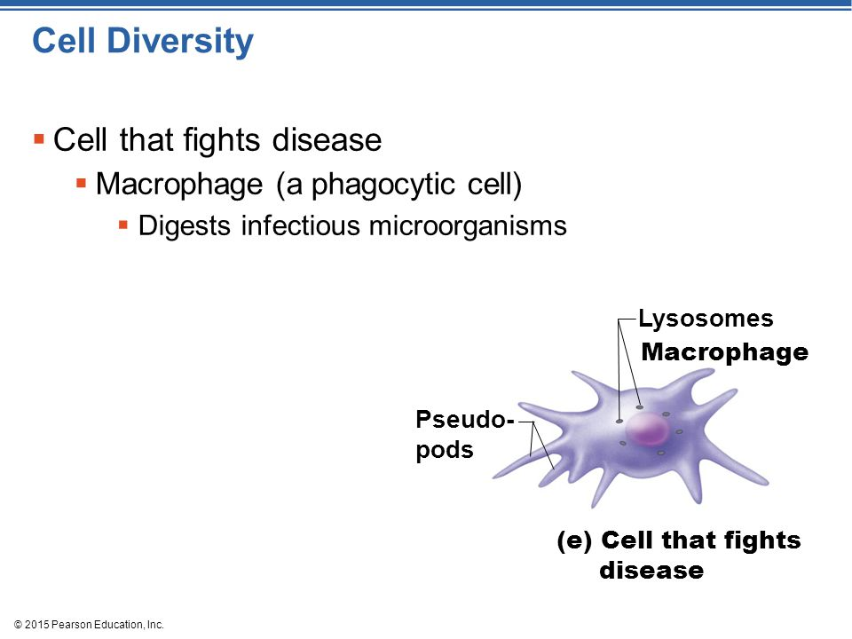 Cell Diversity Cell that fights disease Macrophage (a phagocytic cell)