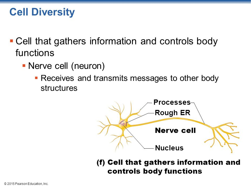 Cell Diversity Cell that gathers information and controls body functions. Nerve cell (neuron)