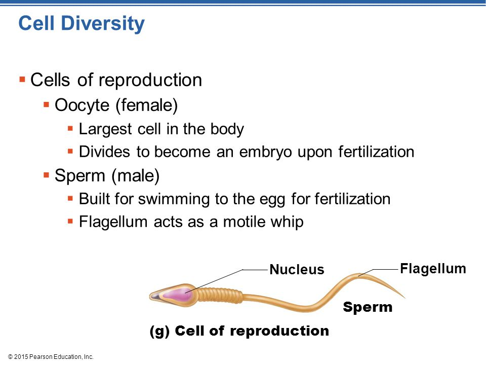 Cell Diversity Cells of reproduction Oocyte (female) Sperm (male)